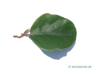 round-leaved beech (Fagus sylvatica 'Rotundifolia') leaf
