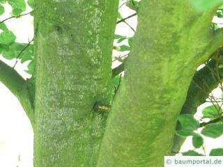 round-leaved beech (Fagus sylvatica 'Rotundifolia') trunk / bark