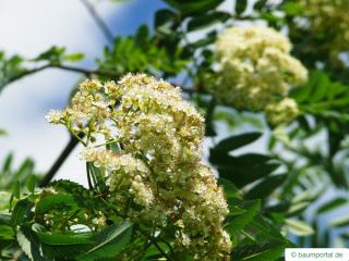 european Mountain ash (Sorbus aucuparia) flowers