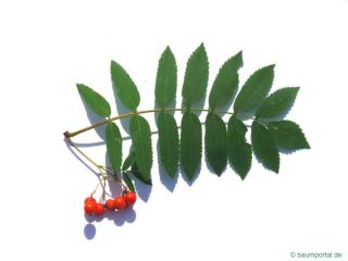 european Mountain ash (Sorbus aucuparia) leaf
