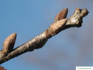 sessile oak (Quercus petraea) terrminal bud