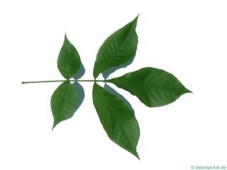 shagbark hickory (Carya ovata) leaf