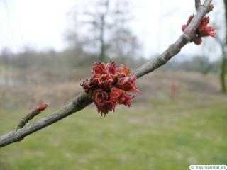 silver maple (Acer platanoides) reddish flowers of