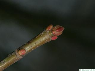 silver maple (Acer platanoides) terminal bud in winter