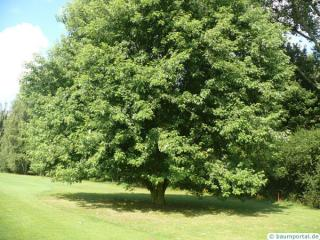 silver maple (Acer platanoides) tree in summer