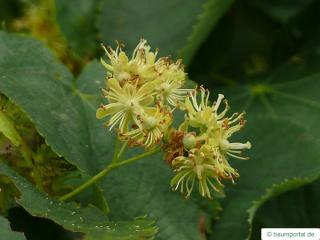 small leaved lime (Tilia cordata) flower