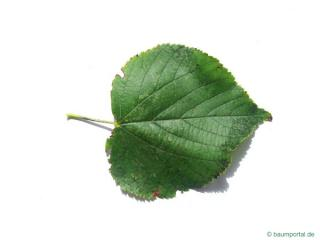 small leaved lime (Tilia cordata) leaf