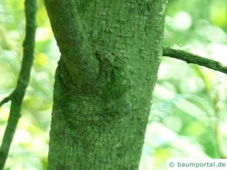 kōwhai (Sophora microphylla) trunk / bark