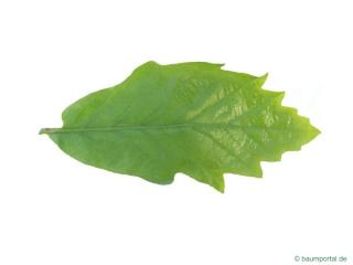 swamp white oak (Quercus bicolor) leaf