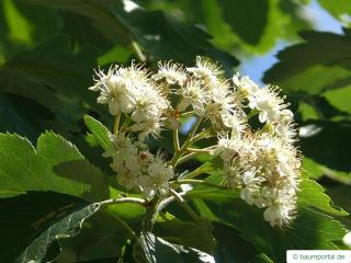 swedish whitebeam (Sorbus intermedia) flower