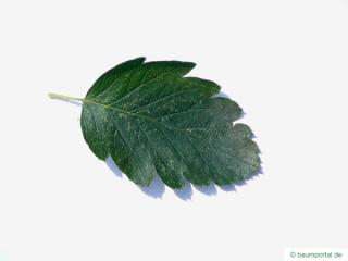 swedish whitebeam (Sorbus intermedia) leaf