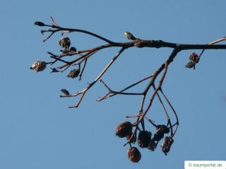 swedish whitebeam (Sorbus intermedia) dried fruit