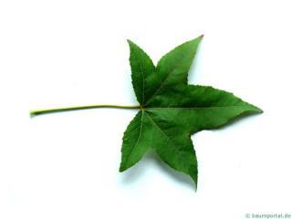 sweetgum (Liquidambar styraciflua) leaf