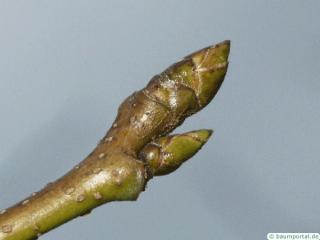 sweetgum (Liquidambar styraciflua) terminal bud