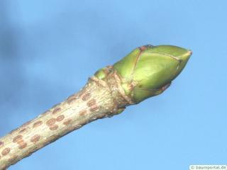 sycamore maple (Acer pseudoplatanus) terminal bud