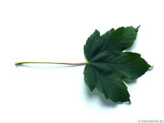 sycamore maple (Acer pseudoplatanus) leaf