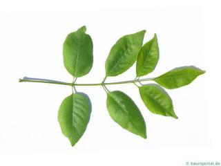 texas ash (Fraxinus texensis) leaf