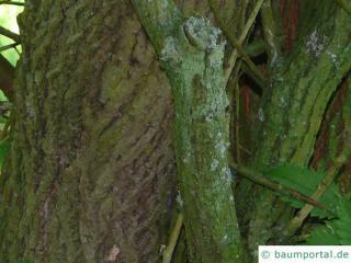 thorn-elm (Hemiptelea davidii) trunk / bark