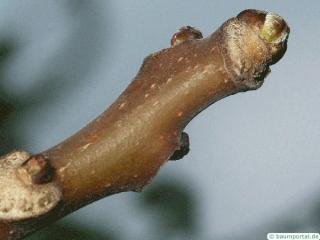 tree of heaven (Ailanthus altissima) terminal bud