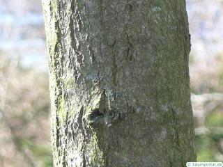 tupelo (Nyssa sylvestris) trunk / stem
