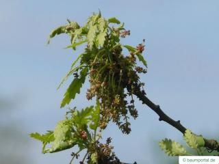 turkish oak (Quercus zerris) flowers