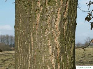 turkish oak (Quercus zerris) trunk / bark