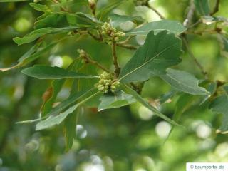 turners oak (Quercus turneri 'Pseudoturneri') leaf position