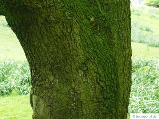 turners oak (Quercus turneri 'Pseudoturneri') trunk / bark