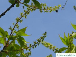 vine-leaved maple (Acer cissifolium) blossoms