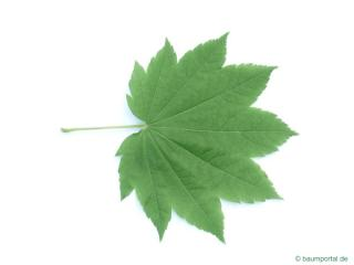 vine maple (Acer circinatum) leaf