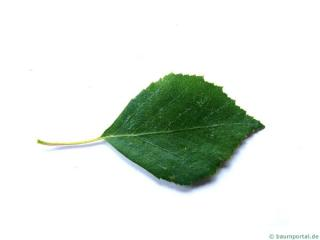white birch (Betula pendula) leaf