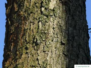 white oak (Quercus alba) trunk / bark