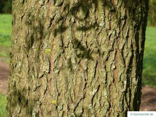 white willow (Salix alba) trunk / bark
