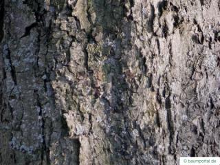 whitebeam (Sorbus aria) trunk / bark