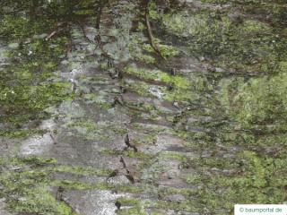 wild cherry (Prunus avium) trunk / bark