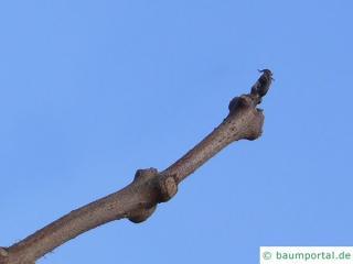 yellow catalpa (Catalps ovata) terminal bud in winter