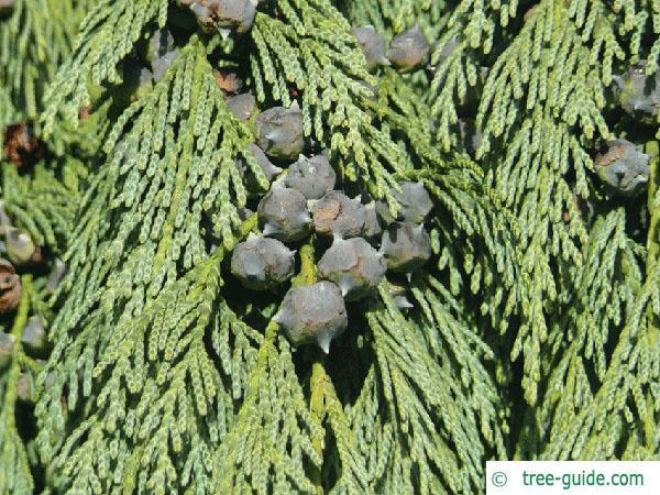 alaska cyprus (Chamaecyparis nootkatensis 'Pendula') cones