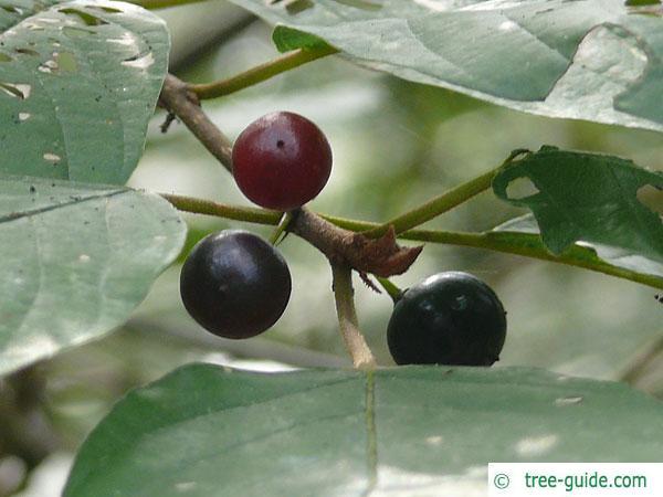 alder buckthorn (Rhamnus frangula) fruits