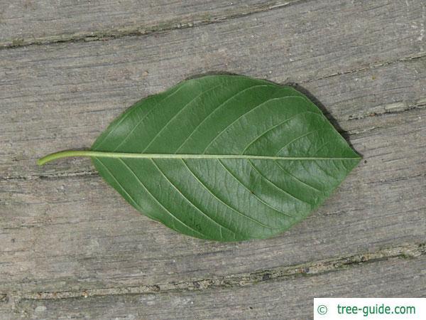 alder buckthorn (Rhamnus frangula) leaves