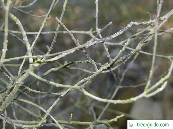 alder buckthorn (Rhamnus frangula) branches in winter