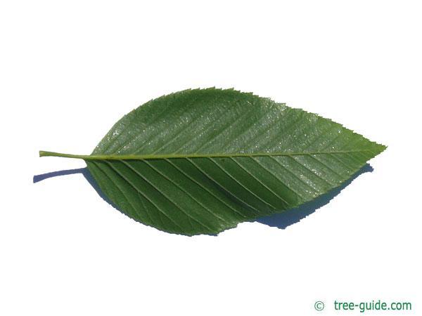 Alnus firma leaf underside