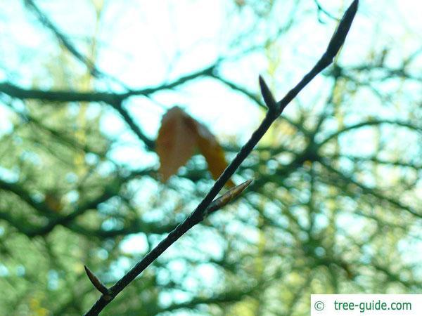 american beech (Fagus grandiflora) buds in winter