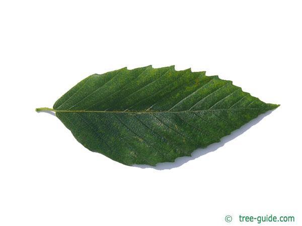 american beech (Fagus grandiflora) leaf