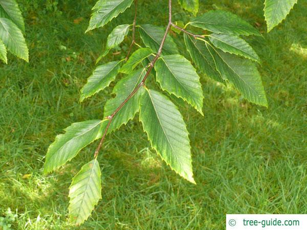american beech (Fagus grandiflora) twig with leaves