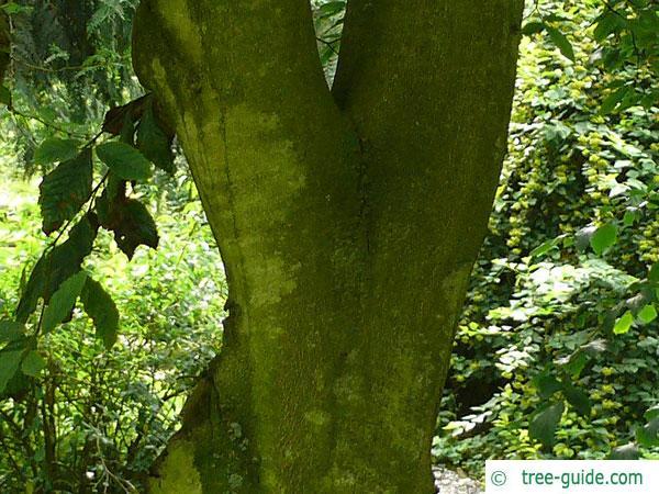 american beech (Fagus grandiflora) trunk / bark