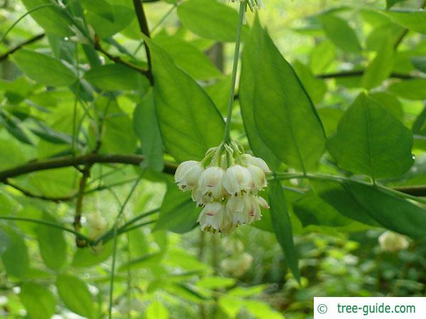 american bladdernut (Staphylea trifolia) leaves and flowers