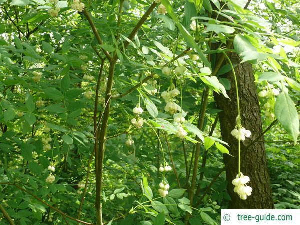 american bladdernut (Staphylea trifolia) crown