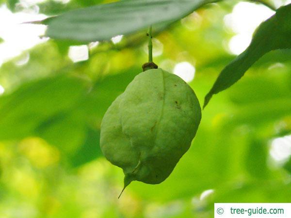 american bladdernut (Staphylea trifolia) fruit
