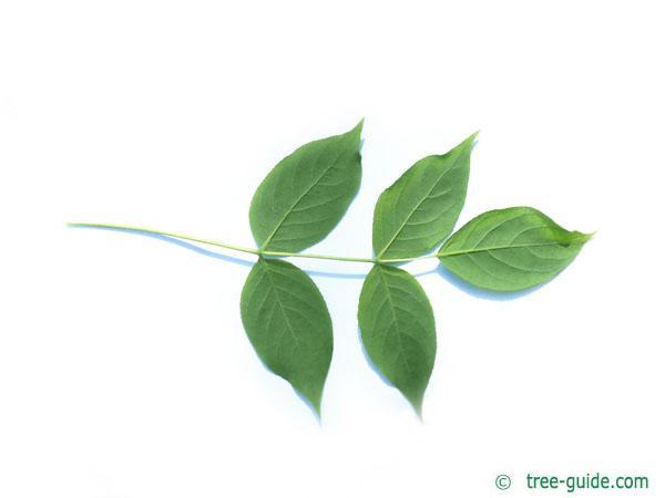 american bladdernut (Staphylea trifolia) leaf underside