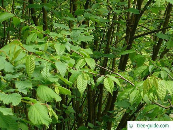 american hornbeam (Carpinus caroliniana) leaves 2